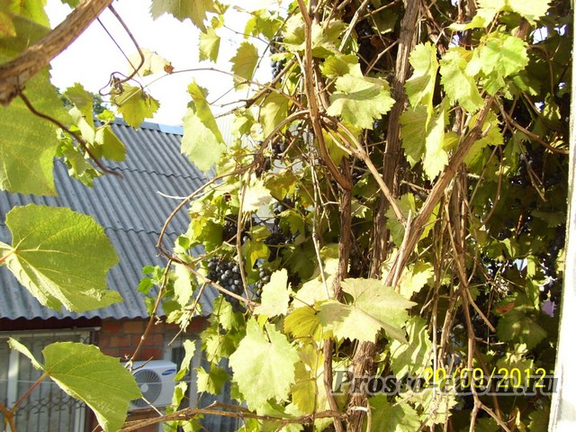 виноград в шепси
