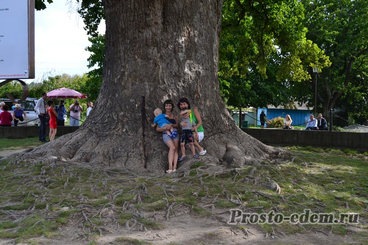Тюльпанное дерево в Головинке