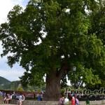 Тюльпановое дерево в Головинке