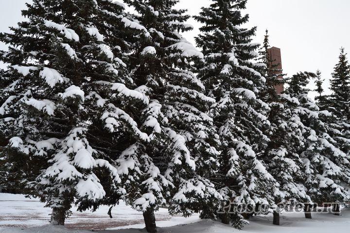 елки в парке зимой