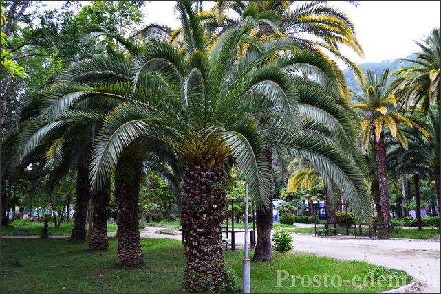 Пальмы в Абхазии