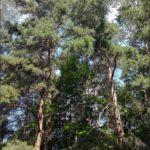 Высокие сосны в Парке Лесоводов