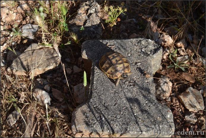 черепаха в Турции